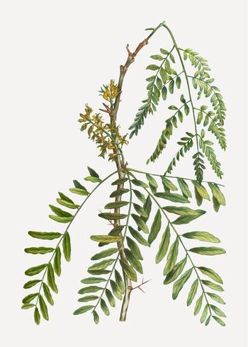 Valse sprinkhanenplant