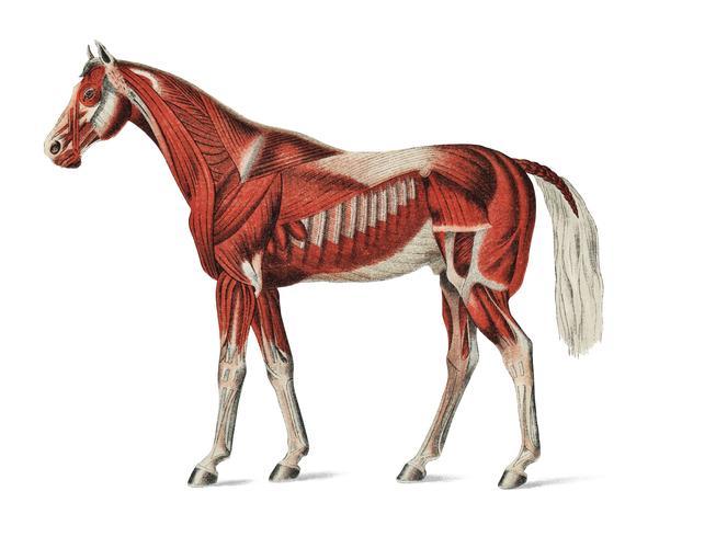 Couche superficielle des muscles réalisée par un artiste inconnu (1904), illustration médicale du système musculaire équin. Augmenté numériquement par rawpixel.