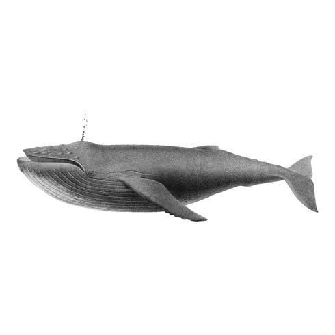 Ilustrações vintage de baleia jubarte