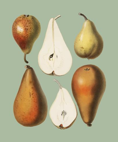 Um chromolithograph do vintage de peras frescas impresso em 1887, por Samuel Berghuis. Digitalmente aprimorada pelo rawpixel.