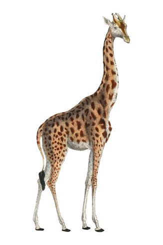 Camelopardis Giraffe - Giraffen (1837) av Georges Cuvier (1769-1832), en illustration av en vacker giraff och skisser av skalle. Digitalt förbättrad av rawpixel.