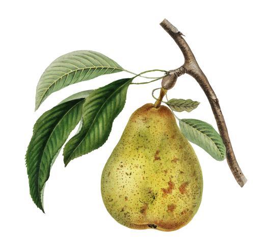 Pyrus communis, uma ilustração do vintage de uma pera. Digitalmente aprimorada pelo rawpixel.