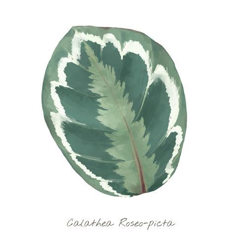 Hoja de Calathea Roseopicta aislada sobre fondo blanco