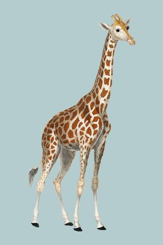 Illustration of a giraffe from Dictionnaire des Sciences Naturelles by Pierre Jean Francois Turpin (1840). Digitally enhanced by rawpixel.
