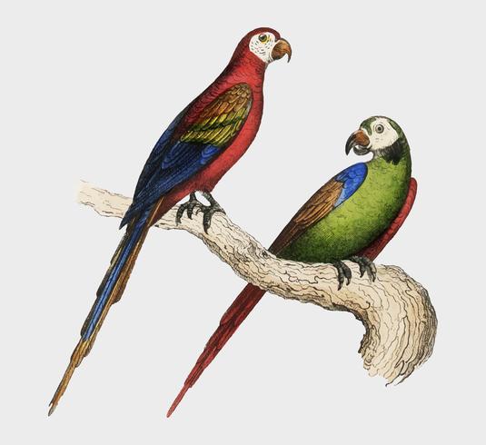 Ara scarlatta e verde di Oeuvres complètes de Buffon (1860). Miglioramento digitale di rawpixel.