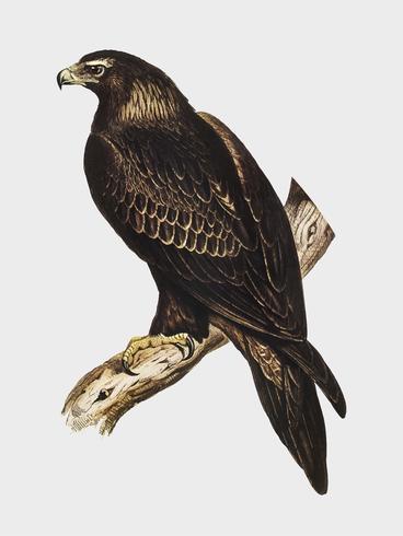 kil-tailed örn illustration
