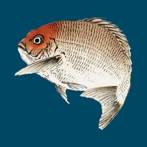 Pescado Tai (Red Seabream) de K? No Bairei (1844-1895). Mejorado digitalmente desde nuestra propia edición original de Bairei Gakan en 1913.