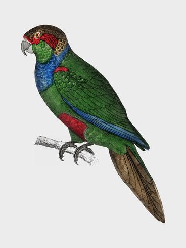 De geschiedenis van de aarde en geanimeerde natuur door Oliver Goldsmith (1774), een zeldzaam antiek handgekleurd tableau van twee parkieten. Digitaal verbeterd door rawpixel.