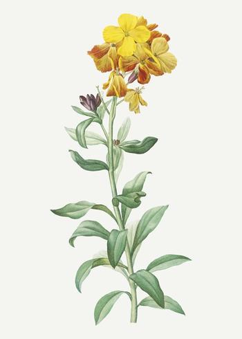 Wallflower giallo in fiore