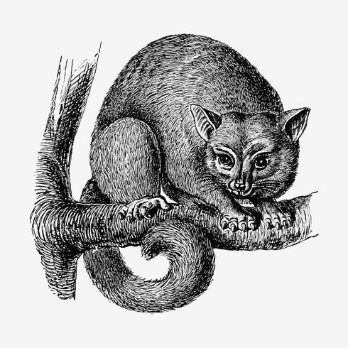 Dibujo de la sombra opossum