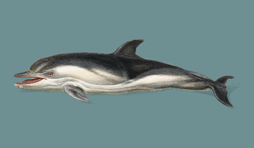 Delphinus delphis illustrerad av Charles Dessalines D 'Orbigny (1806-1876). Digitalförstärkt från vår egen 1892-upplaga av Dictionnaire Universel D'histoire Naturelle.