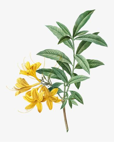 Blooming yellow Azalea