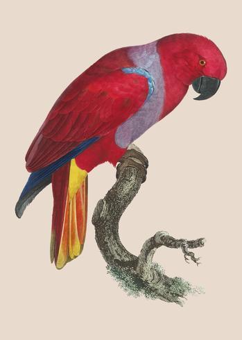 Eclectus papegoja