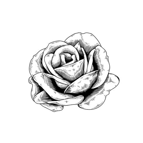 Rose drawing flower nature vector icon on white background