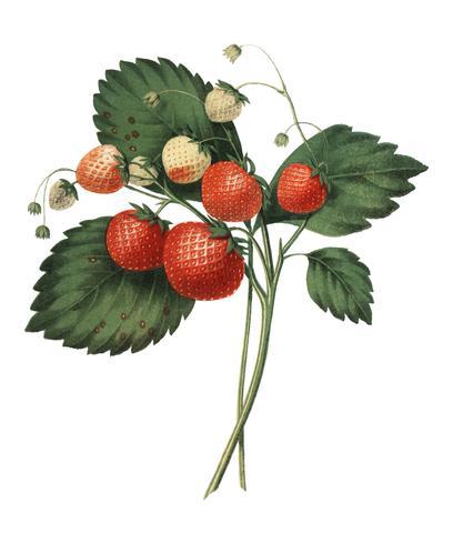 The Boston Pine Strawberry (1852) de Charles Hovey, una ilustración vintage de fresas frescas. Mejorado digitalmente por rawpixel.
