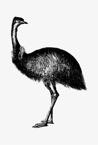 Cassowary shade drawing