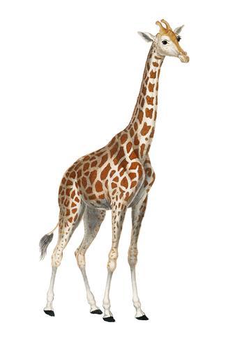 Ilustración de una jirafa de Dictionnaire des Sciences Naturelles por Pierre Jean Francois Turpin (1840). Mejorado digitalmente por rawpixel.