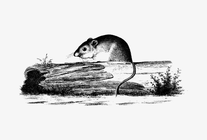 Mouse on a branch shade drawing