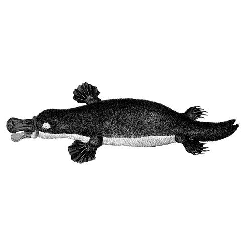 Vintage illustrations of Duck-billed platypus