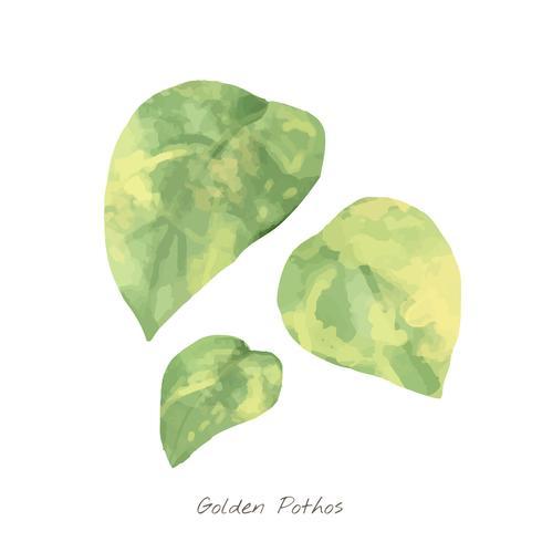 Golden Pothos leaf isolerad på vit bakgrund
