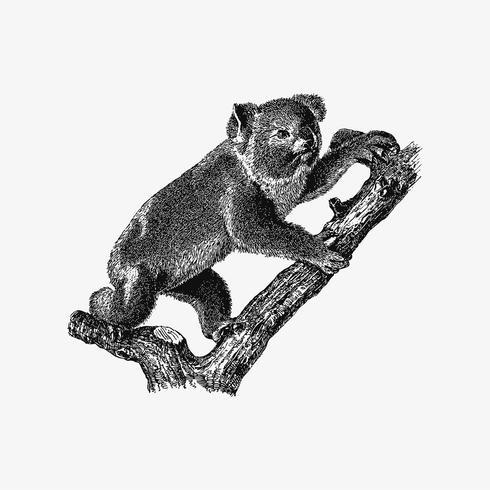 Koala disegno ombra