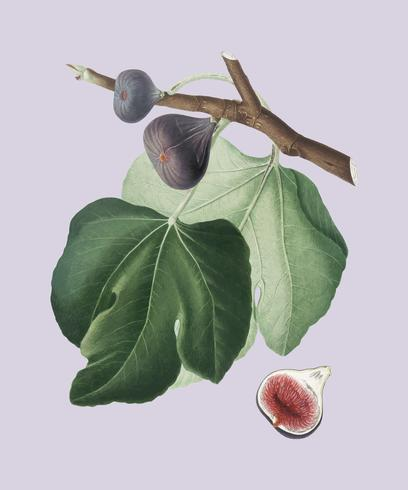 Black Fig from Pomona Italiana illustration