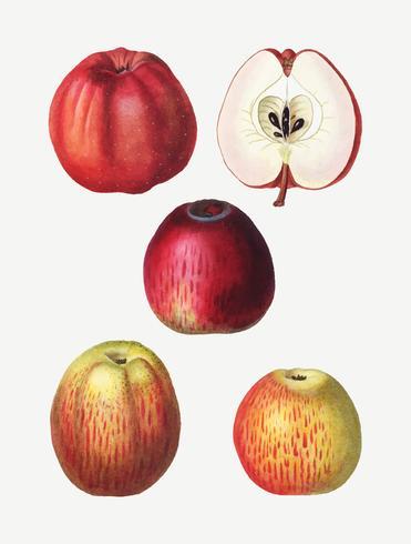 Vintage Apfelzeichnungen