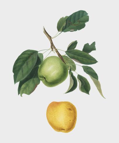 Manzana de la ilustración de pomona italiana.