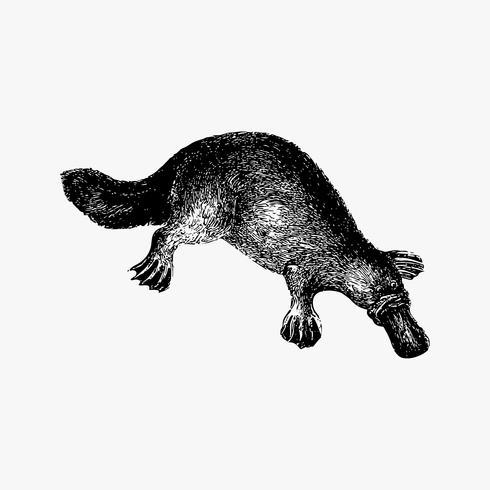 anka-billed platypus nyans ritning
