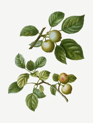 Europäische Crabapple-Früchte