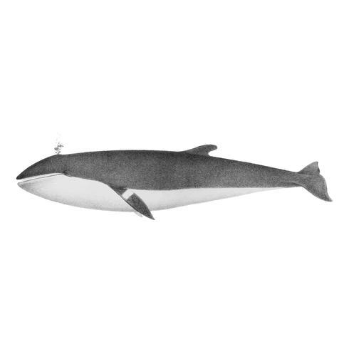 Ilustraciones vintage de ballena minke