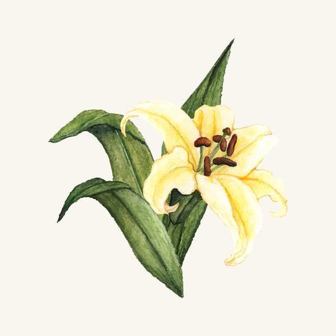 Handdragen vitlilja blomma isolerad