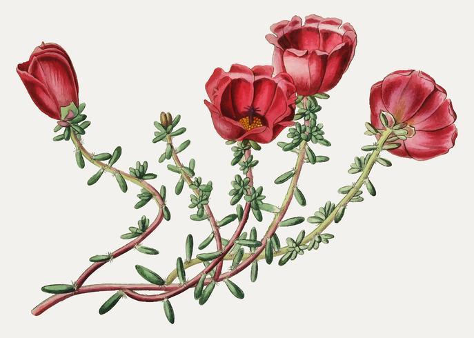 Fleur de pourpier rouge