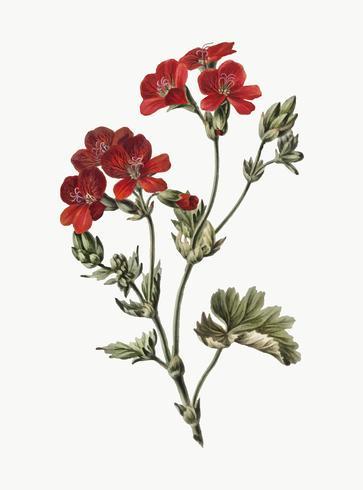 Illustrazione d'epoca del fiore rosso