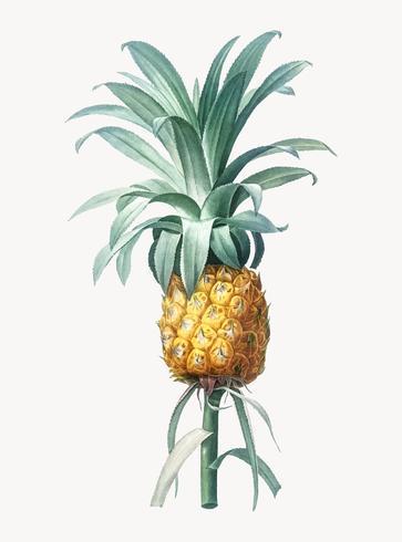 Fruta de piña cultivada