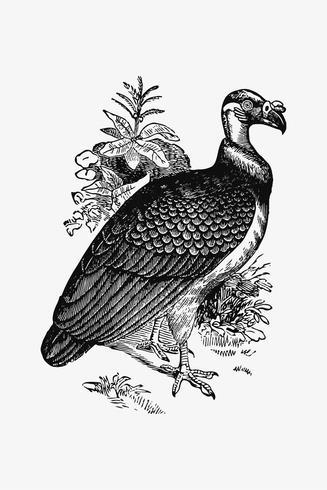 Disegno dell'ombra del re Vulture