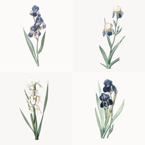 Illustrazione d'epoca del set di iris
