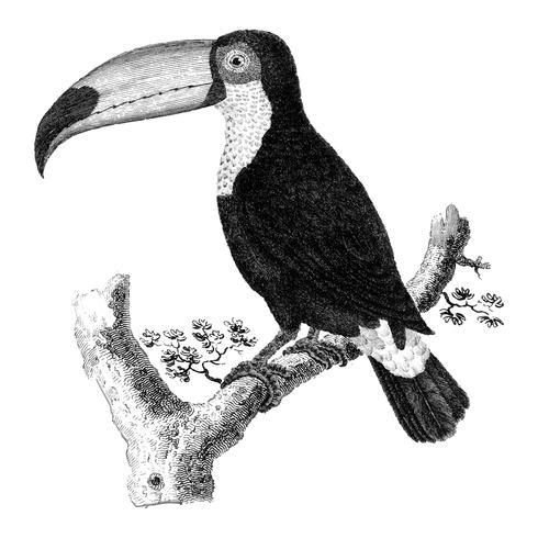 Vintage illustraties van de vogel van Toco