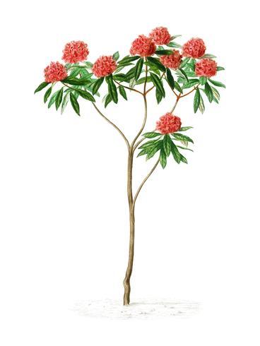 Rhododendron arboreum illustré par Charles Dessalines D'Orbigny (1806-1876). Amélioré numériquement à partir de notre propre édition de 1892 du Dictionnaire Universel D'histoire Naturelle.