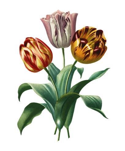 Didier's tulp (Tulipa gesneriana) geïllustreerd door Charles Dessalines D 'Orbigny (1806-1876). Digitaal verbeterd van onze eigen uitgave van Dictionnaire Universel D'histoire Naturelle uit 1892.