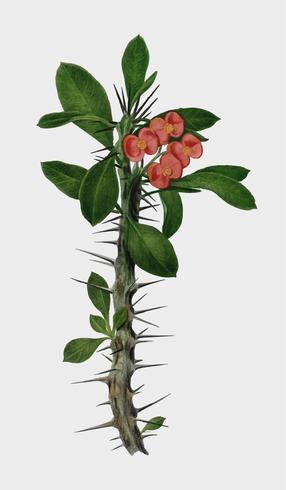 Euphorbia Splendens illustrerad av Charles Dessalines D 'Orbigny (1806-1876). Digitalförstärkt från vår egen 1892-upplaga av Dictionnaire Universel D'histoire Naturelle.