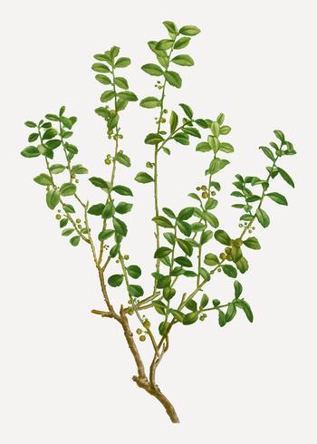 Cape mirte plant