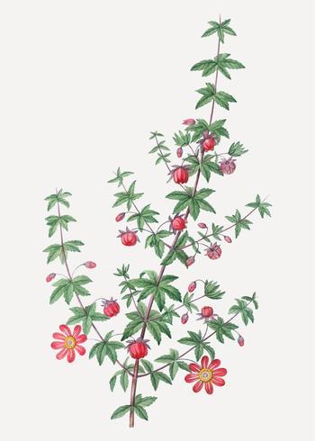 Planta Madder-com folhas