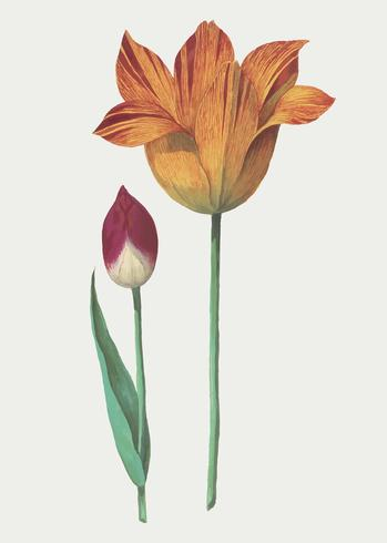 Tulipano in stile vintage