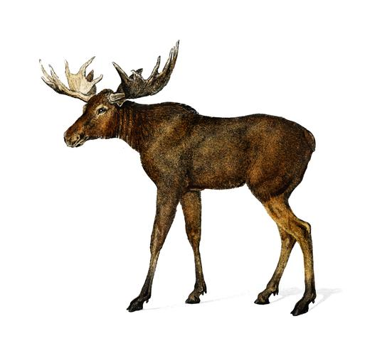 Alces alces illustrated by Charles Dessalines D' Orbigny (1806-1876). Digitally enhanced from our own 1892 edition of Dictionnaire Universel D'histoire Naturelle.