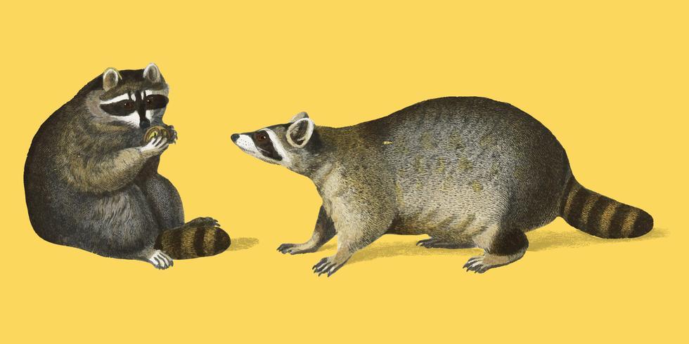 Wasbeer (Procyon-lotor) geïllustreerd door Charles Dessalines D 'Orbigny (1806-1876). Digitaal verbeterd van onze eigen uitgave van Dictionnaire Universel D'histoire Naturelle uit 1892.