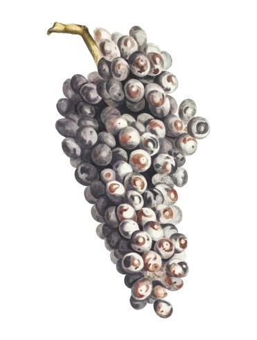 Vintage illustration of a bunch of grapes