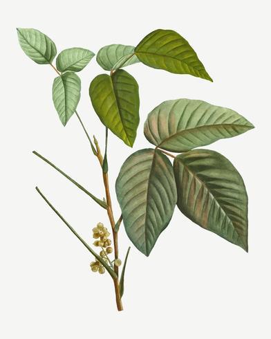 Poison Ivy Zweig