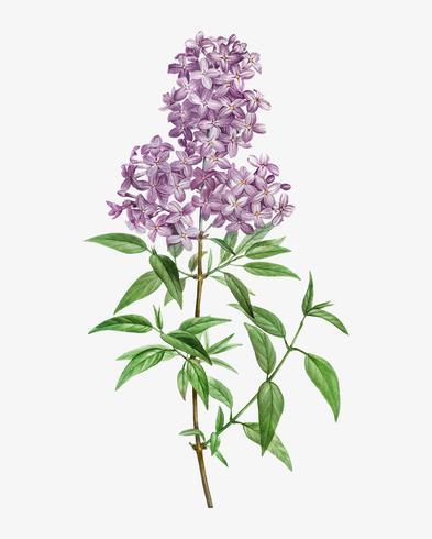 Floreciente lila persa