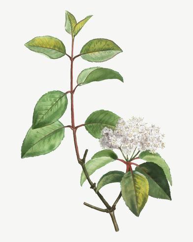 Arbre de Blackhaw en fleurs
